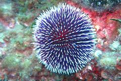 coral reef(1.0), sea urchin(1.0), coral(1.0), echinoderm(1.0), organism(1.0), marine biology(1.0), invertebrate(1.0), stony coral(1.0), underwater(1.0), sea anemone(1.0),