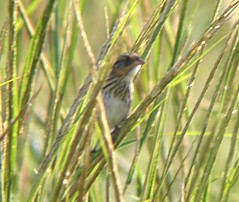 Saltmarsh Sharp-tailed Sparrow/ Fish Haul Creek/ 10-2-2013