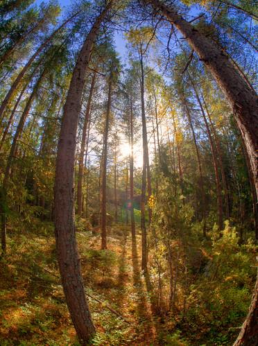 trees tree forest suomi finland geotagged wideangle fisheye puu hdr metsä porvoo puita blåkulla puut tonemapped tonemap handheldhdr kalansilmä gäddrag blåkullaartweekend