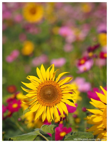 Sunflowers in the cosmos #03