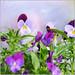pretty purple faces . . . by dragonflydreams88