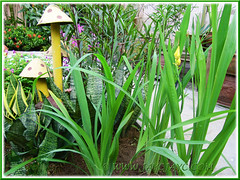 Newly planted Trimezia steyermarkii (Yellow Walking Iris) with companion plants at the outer bed, Sept 16 2013