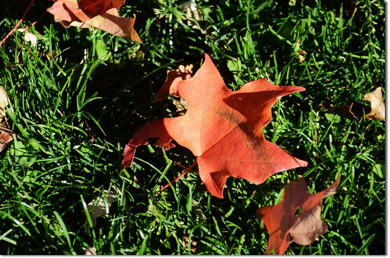 Sugar maple in Fall, Chautauqua, Boulder 8