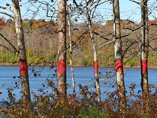 Five red striped trees