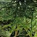 Small photo of Hiba dolabrata cedar needles by Phil Manker