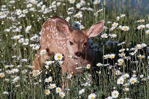 Wildlife in British Columbia, Canada: Mule Deer / Black-tailed Deer
