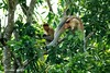 Bekantan - Wild Indonesia 66