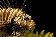 Lionfish 03