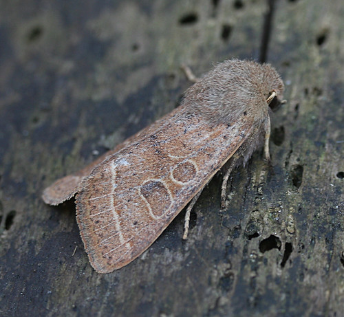Common Quaker Orthosia cerasi Tophill Low NR, East Yorkshire March 2014