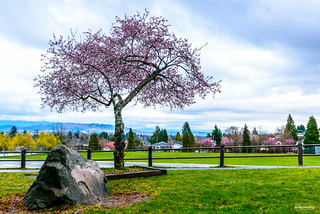 Cherry Blossom - Looking Towards Burnaby, BC, Canada