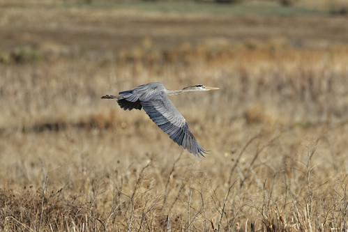 Great Blue Heron Flies By (Explored)