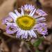 Erigeron pulchellus (Robin's Plantain) by jimf_29605