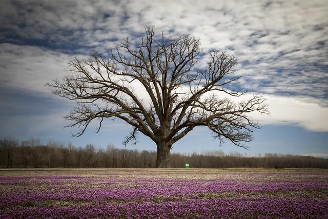 Burr Oak with Henbit