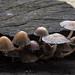Coprinopsis atramentaria, (inky cap)