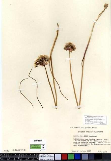 Header of Allium howellii var. sanbenitense