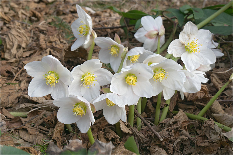 Helleborus niger elleboro bianco piante magiche for Elleboro bianco