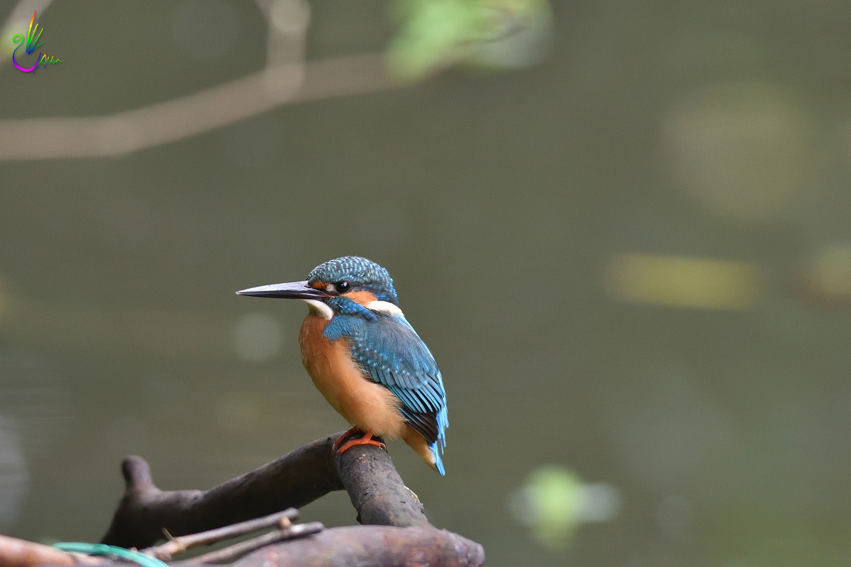 Common_Kingfisher_4217