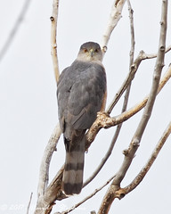 Perched Sharp-shinned Hawk