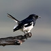 Indian Magpie Robin - Koladeo Reserve (Neil Pont)