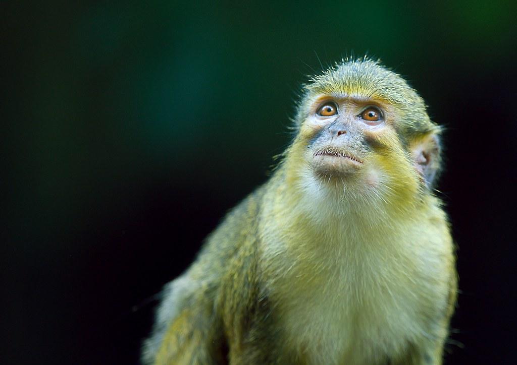 Talapoin Monkey_1