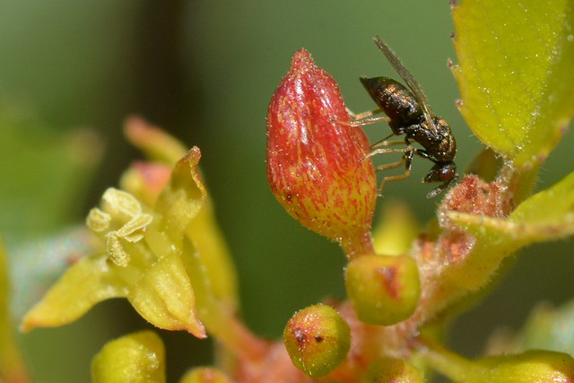 Galled flower and parasitic wasp on Holly-Leaved Redberry