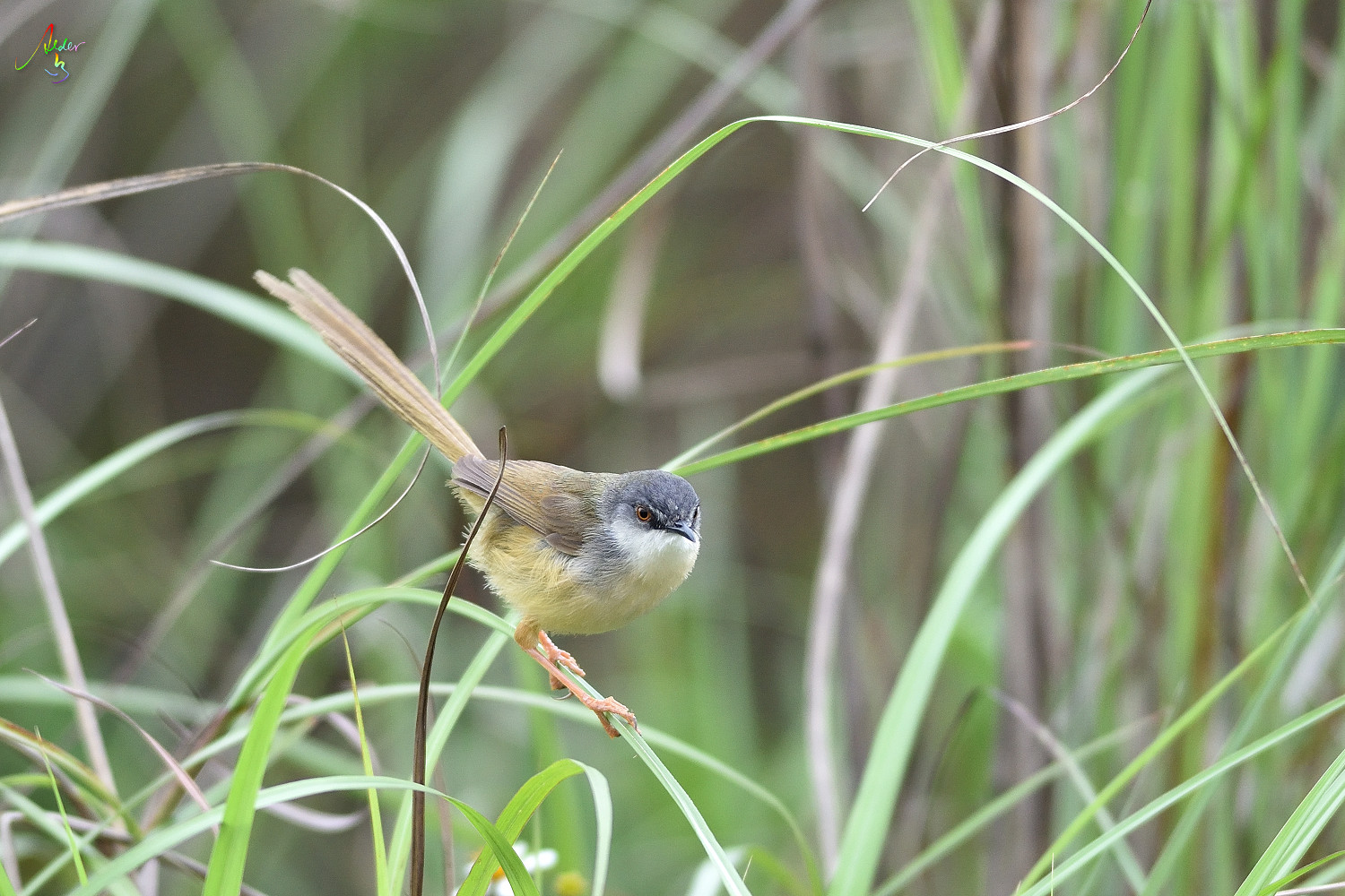 Yellow-bellied_Prinia_3639