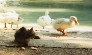Cat and Ducks