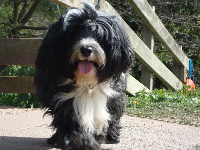Tibetan Terrier in Taunton, Sony DSC-W215