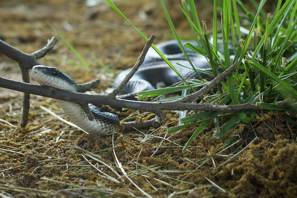 Snake in the Grass (elaphe obsoleta)
