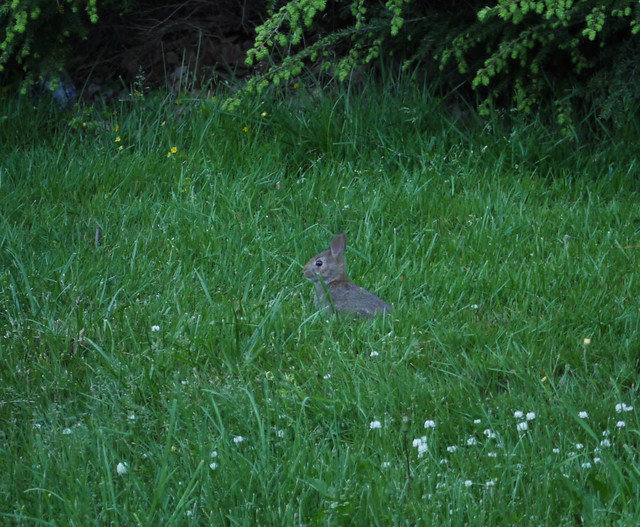 little wild rabbit in the grass at dusk