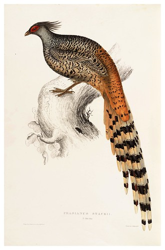 015- Phasianus Staceii-A Century of Birds from the Himalaya Mountains-John Gould y Wm. Hart-1875-1888-Science Naturalis