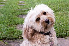 dog breed, animal, dog, cavachon, schnoodle, petit basset griffon vendã©en, pet, lã¶wchen, tibetan terrier, bolonka, poodle crossbreed, havanese, morkie, cockapoo, goldendoodle, cavapoo, carnivoran,