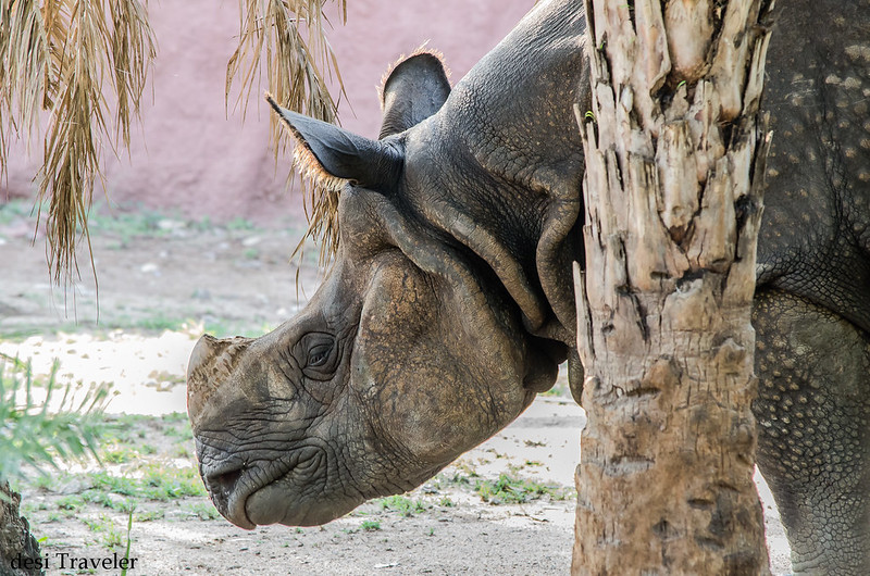 One Horned Indian Rhino Hyderabad Zoo