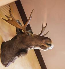 antler, deer, trophy hunting, horn, fauna, reindeer,