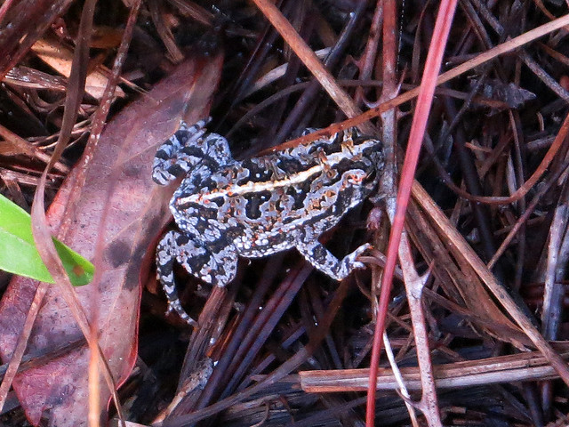 Oak Toad
