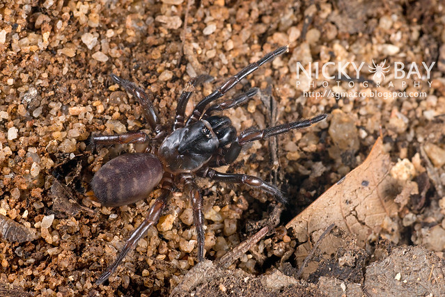 Tube Trapdoor Spider (Nemesiidae) - DSC_6573