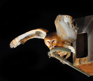 Young Barn Owl With Bug