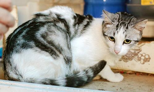 Axel, mimoso gatito blanco y tabby gris azulado, ojazos verdes, sano y esterilizado de 2 años en adopción. Valencia 9142741314_04cf610af7