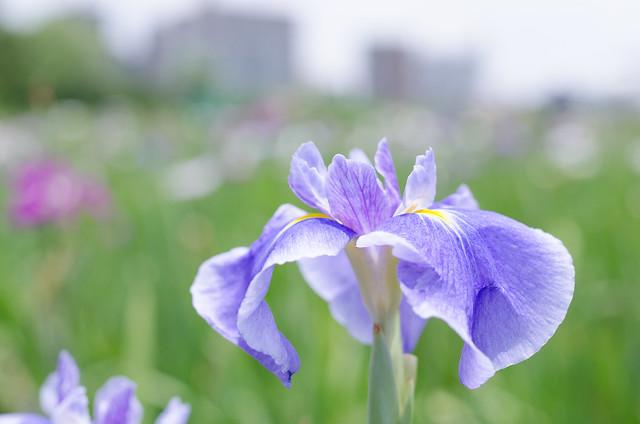 Iris Tele-closeup