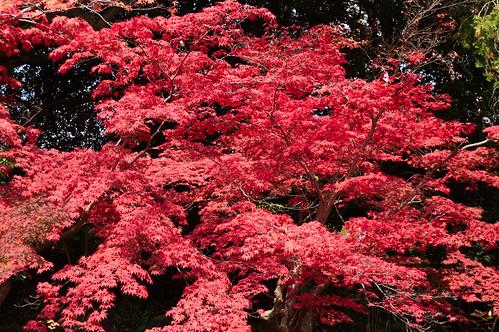 【写真】2012 紅葉 : 光明寺/2020-11-11/IMGP6519