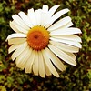 #daisy #flower #summer