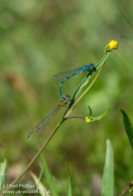 Tandem southern damselfly Coenagrion mercuriale-4