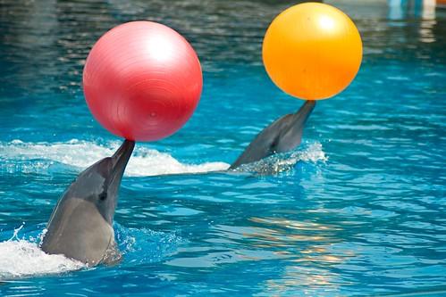 Dolphins Playing Balls Karawat7 Flickr