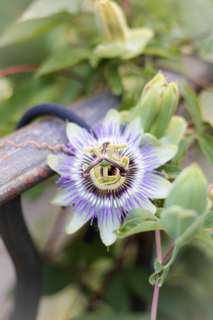 fleur-de-la-passion