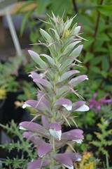 ACANTHUS spinosus Spinosissimus Group