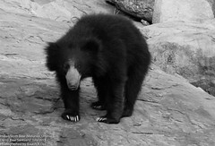 animal, american black bear, mammal, monochrome photography, fauna, sloth bear, monochrome, black-and-white, bear, wildlife,