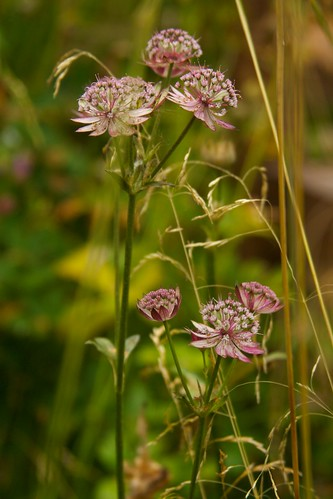 astrantia star of fire  3476