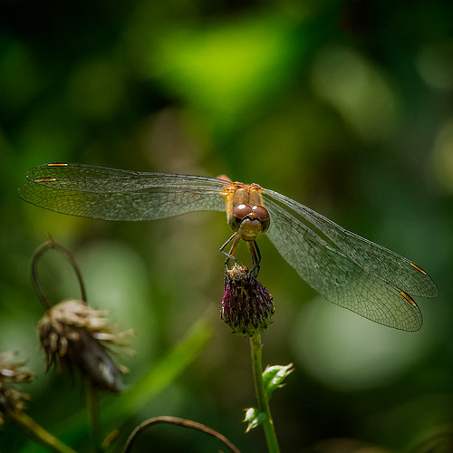 Dainty Wings