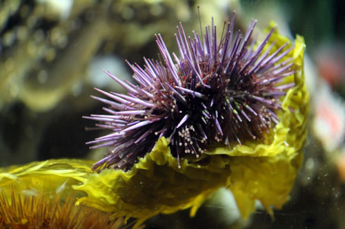 prickly purple sea urchin