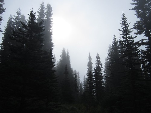 silver firs in the mist